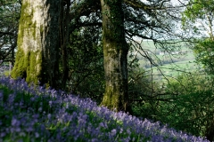 Bradstone Wood Blue Bells