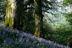 Bradstone Wood Blue Bells